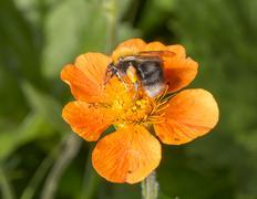 Bumble Bee Pollen Basket - stock photo