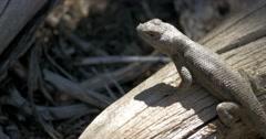 Mesa Verde National Park Sagebrush lizard Stock Footage