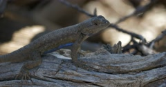 Mesa Verde National Park Sagebrush lizard - stock footage