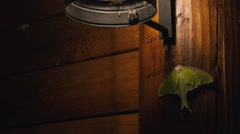 A large Luna Moth attaches itself to the side of a log cabin at night, while sma Stock Footage