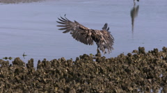 A Bald Eagle In Flight Dives and Lands On A Beach Stock Footage