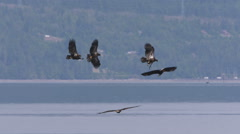 Multiple Bald Eagles In Flight, Fly, Flying Stock Footage