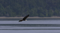 Bald Eagle In Flight, Fly, Flying Stock Footage