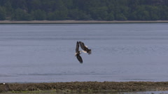 Two Bald Eagles In Flight Briefly Lock Talons Stock Footage
