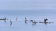Herons Gathered Fishing and Eating On a Beach Stock Footage