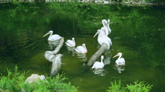 White pelicans swim in lake. Birds wildlife. Group of waterfowl birds on water Stock Footage