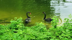 Black swans swim in zoo pond with green water. Swans with red peaks Stock Footage