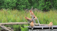Proboscis Monkeys mating Stock Footage