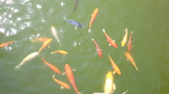 koi fishs in pond - stock footage