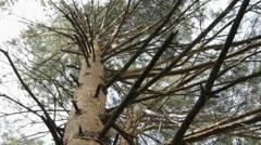 Tops Of Trees In Forest. Tall Pine Trees Stretch To Sky Stock Footage