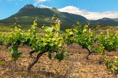 Beautiful green vineyards on fields in mountains of Crimea Stock Photos