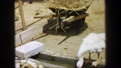 1955: Storyland theme park white goose drinking water creek overflow farm. Stock Footage
