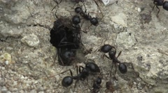 Insects Ants running around near the hole in the ground, macro anthill Stock Footage