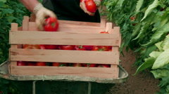 Farmer harvesting and sorting tomatoes in wooden crate by Pakito, hands close up Stock Footage