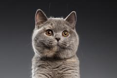 Close-up Plush Gray British Cat Curious Looks on Dark Background Stock Photos