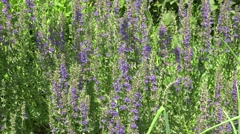 Salvia flower herb swing in summer garden. 4K Stock Footage