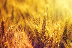 Golden wheat ears in cultivated field - stock photo