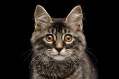 Closeup Portrait Kurilian Bobtail Kitty Curious Looks, Isolated Black Background Stock Photos