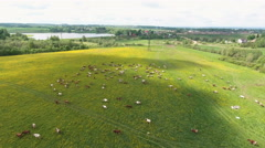 Flying over green field with grazing cows Stock Footage