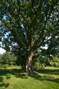 Meru oak Stock Photos