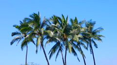 4K Group of Tall Palm Trees, Baby Blue Sky Stock Footage