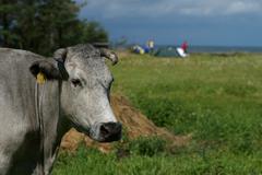 Jurkalne, dark sky meadow, blue cow - stock photo