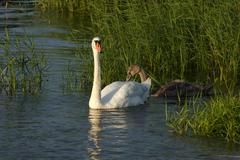 Swan Swimming with its Babies Stock Photos