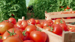 Ripe tomatoes sorted in a wooden crate, close up, harvesting tomatoes by Pakito. Stock Footage