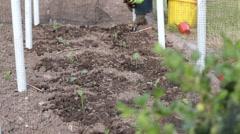 Female gardening planting brocolli seedling into vegetable plot Stock Footage
