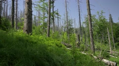 Sick/dead forest in the mountains.  Landscape full of dry trees. - stock footage