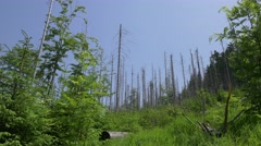 Sick/dead forest in the mountains.  Landscape full of dry trees. Stock Footage