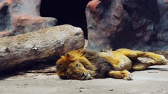 Lion basking on the ground on a sunny day Stock Footage