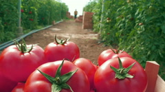 Worker pushing trolley with ripe red tomatoes, close up, low angle  by Pakito. Stock Footage