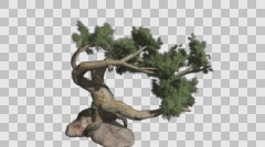 Jeffrey Pine Tree Growth Animation with Alpha Channel Stock Footage