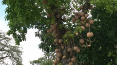 Cannonball tree growing in rio de janeiro, brazil Stock Footage