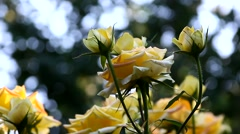 Roses in the evening light in the garden Stock Footage