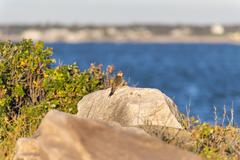 Northern Flicker perched on rock - stock photo