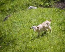 Goat graze on the meadow. - stock photo