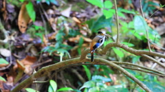 Colorful bird Silver-breasted broadbill Stock Footage