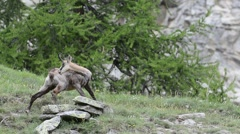 Alpine chamois (Rupicapra rupicapra) grooming fur in the Alps Stock Footage