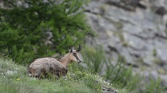 Alpine chamois (Rupicapra rupicapra) chewing cud Stock Footage