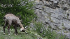 Alpine chamois (Rupicapra rupicapra) rubbing horns against sapling Stock Footage