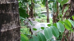 Stray white brahman cow eating banana leaves Stock Footage