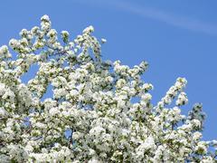 Beautiful apple tree in spring Stock Photos