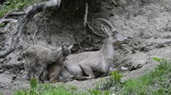Alpine ibex (Capra ibex) female with young in the Alps Stock Footage
