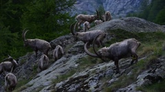 Alpine ibexes foraging on mountain slope in the Alps Stock Footage