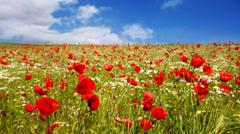 Red poppies against the blue sky. Stock Photos