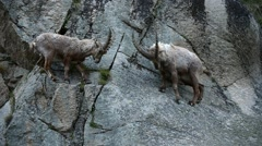 Male Alpine ibexes fighting in steep mountain rock face in the Alps - stock footage