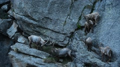Alpine ibexes foraging in steep mountain rock face in the Alps - stock footage