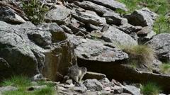Alpine marmot entering entrance of burrow under rock in the Alps Stock Footage